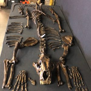 american lion disarticulated skeleton