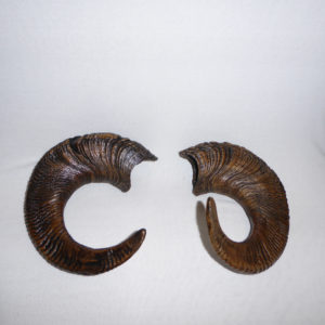 bighorn sheep horns