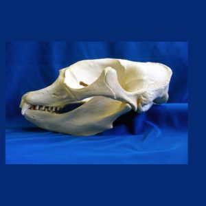 california elephant seal female skull