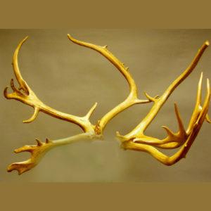 caribou antler rack replica