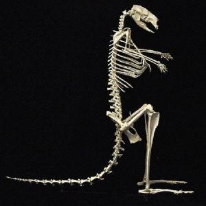 eastern grey kangraoo skeleton