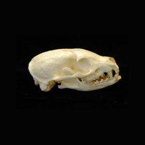 flat-headed kusimanse skull replica