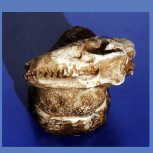 leptictis skull replica