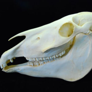 Horse and Zebra Skull Replicas