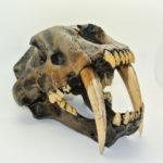 sabertooth cat skull replica