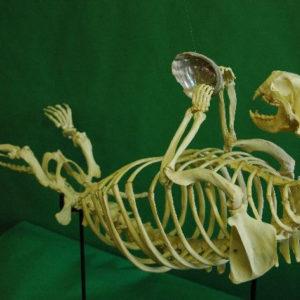 sea otter disarticulated skeleton