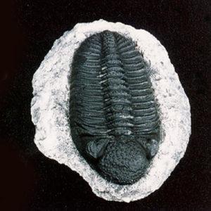 trilobite phacops rana africana