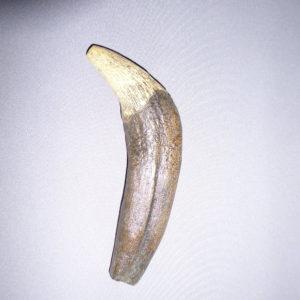 zygorhiza kochii canine tooth
