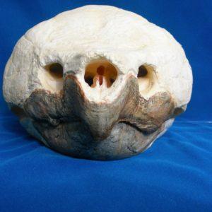 Reptile Skull Replicas