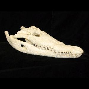 american crocodile small skull bright