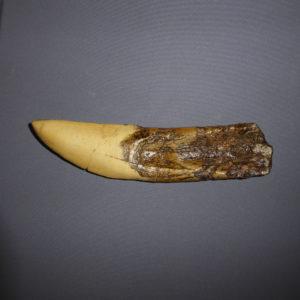 Dinosaur Teeth or Tooth