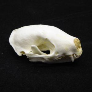 hooded skunk skull replica