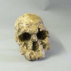 knm-er 1474 skull replica