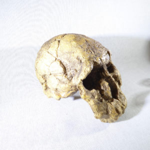 knm-er 1474 skull replica facing right