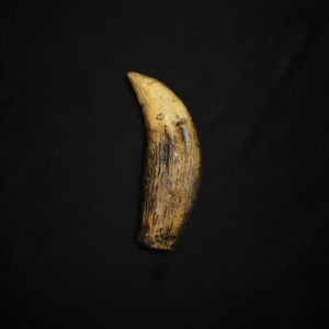 super crocodile tooth fossil facing left