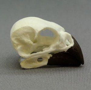 Bird or Aves Skulls
