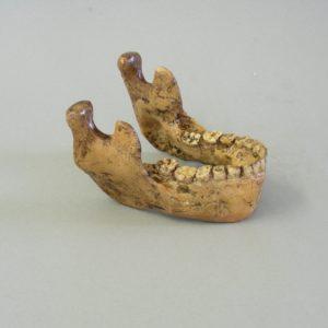 australopithecus jaw replica