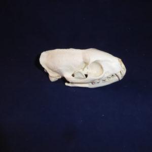 egyptian mongoose skull replica