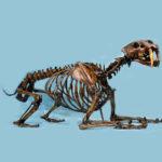 saber-tooth-cat-skeleton-AL115A