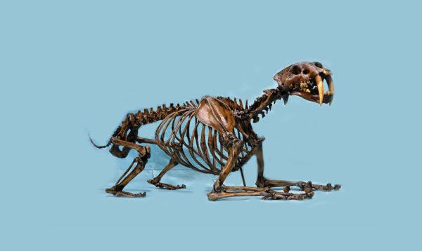 saber-toothed-cat-skeleton