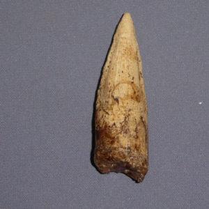 Spinosaurus Tooth Fossil C