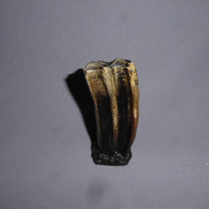 western horse tooth replica reverse side
