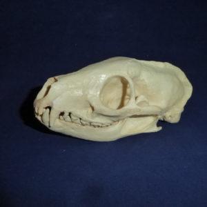 white tailed mongoose skull replica
