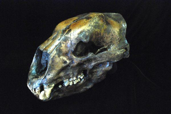 short faced bear skull